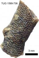 Pachydictya cyclostomoides Eichwald, TUG 1589-736