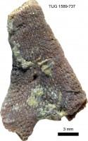 Pachydictya cyclostomoides Eichwald, TUG 1589-737