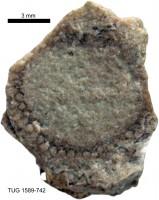 Cyclocrinus spasski Eichwald, TUG 1589-742