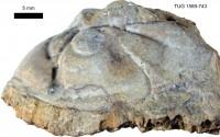 Toxochasmops maximus (Schmidt, 1881), TUG 1589-743