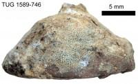 Mesotrypa discoidea orientalis Bassler, 1911, TUG 1589-746