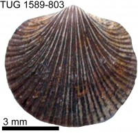 Howellites wesenbergensis (Alichova, 1951), TUG 1589-803