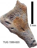 Eridotrypa aedilis (Eichwald, 1855), TUG 1589-820