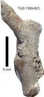 Eridotrypa aedilis (Eichwald, 1855), TUG 1589-823
