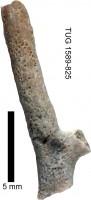 Eridotrypa aedilis (Eichwald, 1855), TUG 1589-825