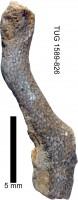 Eridotrypa aedilis (Eichwald, 1855), TUG 1589-826