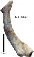 Eridotrypa aedilis (Eichwald, 1855), TUG 1589-828