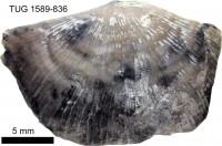 Hedstroemina inaequiclina (Alichova, 1951), TUG 1589-836