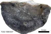 Hedstroemina inaequiclina (Alichova, 1951), TUG 1589-837