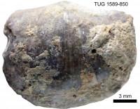 Eochonetes nubila (Rõõmusoks, 1981), TUG 1589-850