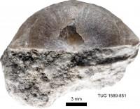 Eochonetes nubila (Rõõmusoks, 1981), TUG 1589-851