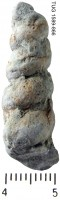 Murchisonia  (Hormotoma) scorbiculata Koken, 1897, TUG 1589-866