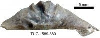 Eoplectodonta (Eoplectodonta) rhombica (M'Coy, 1852), TUG 1589-880