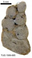 Murchisonia  (Hormotoma) scorbiculata Koken, 1897, TUG 1589-885