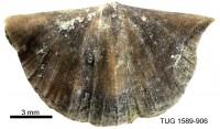 Eoplectodonta aluverensis, TUG 1589-906