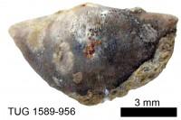 Sowerbyella (Sowerbyella) minima Rõõmusoks, 1959, TUG 1589-956