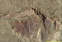 Euantiarcha