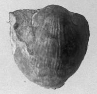 Atrypa (Atrypa) reticularis (Linnaeus, 1758), TUG 160-96