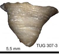 Anticalyptraea calyptrata Eichwald, 1860, TUG 1607-3