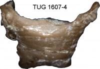 Anticalyptraea calyptrata Eichwald, 1860, TUG 1607-4