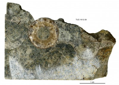 Endoceratoidea