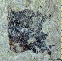 Scenelloidea