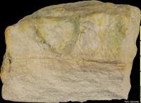 Diplocraterion helmerseni (Öpik, 1929), TUG 1614-236