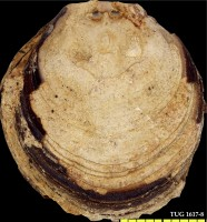 Siphonotreta sp., TUG 1617-8