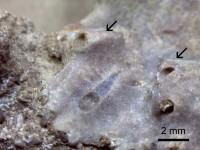 Chaetosalpinx sp., TUG 1647-1-1
