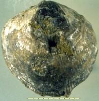Atrypa (Atrypa) reticularis (Linnaeus, 1758), TUG 165-35