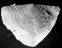 Kiaeromena (Bekkeromena) vormsina (Rõõmusoks, 2004), TUG 2-325