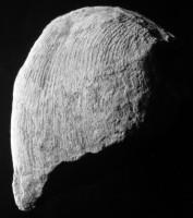 Kiaeromena (Bekkeromena) vormsina (Rõõmusoks, 2004), TUG 2-326