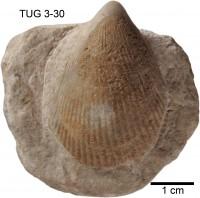 Ambonychia orvikui Isakar, 1991, TUG 3-30