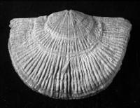 Holtedahlina moensis Rõõmusoks, 2004, TUG 3-547
