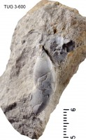 Caenogastropoda