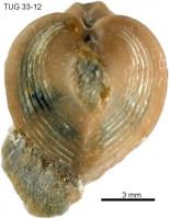 Hippocardia sp., TUG 33-12