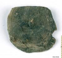 Orthisocrania planissima planissima (Eichwald), TUG 39-221