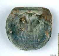 Orthisocrania planissima planissima (Eichwald), TUG 39-222
