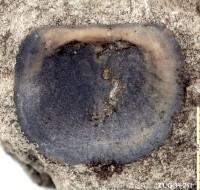 Orthisocrania planissima planissima (Eichwald), TUG 39-241
