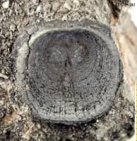 Orthisocrania planissima planissima (Eichwald), TUG 39-242