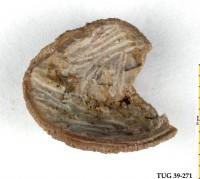 Philhedra sp., TUG 39-271