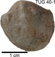 Pteriomorphia