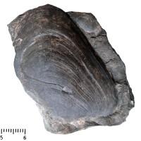 Modiolopsis sp., TUG 439-235