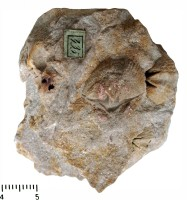 Delthyris macropterus (Goldfuss, 1844), TUG 440-435