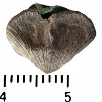 Skenidiidae