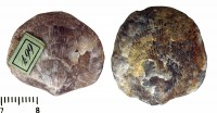 Atrypa (Atrypa) reticularis (Linnaeus, 1758), TUG 441-667