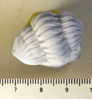 Calymene blumenbachii (Brongniart, 1817), TUG 533-95