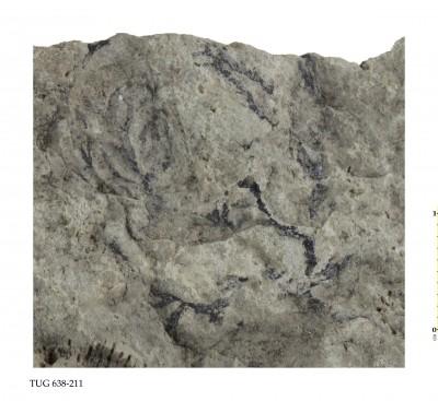 Thallograptus cervicornis (Spencer), TUG 638-211