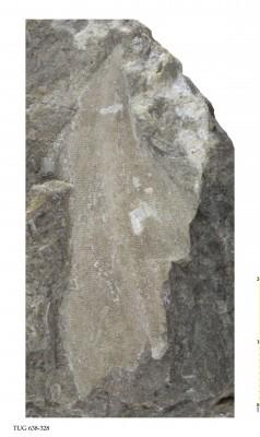 Ptilodictya sp., TUG 638-328
