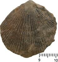 Atrypa (Atrypa) reticularis (Linnaeus, 1758), TUG 668-216
